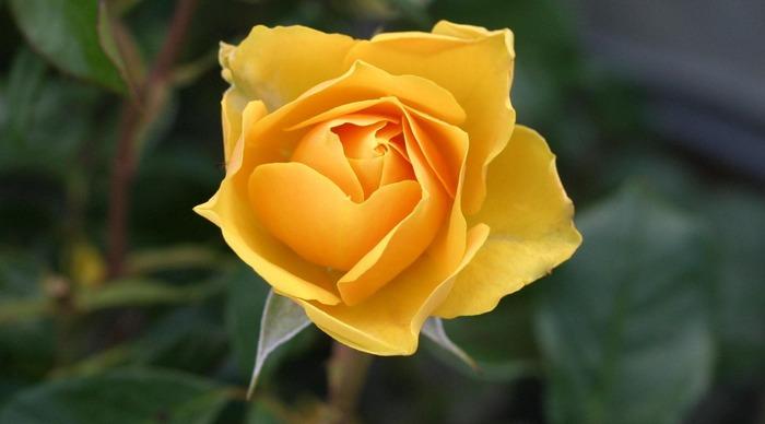 """お父さんに""""黄色いお花""""を贈ってみませんか♪父の日にぴったりの「フラワーギフト」のすすめ"""
