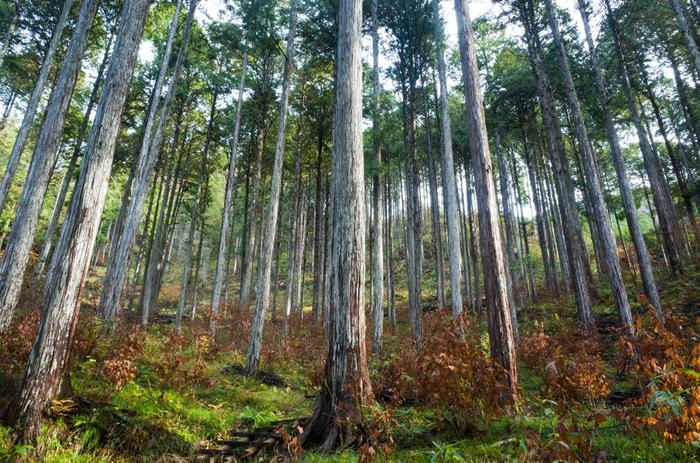 ヒノキ科の常緑針葉樹。まっすぐに育てられた木曽ヒノキたち。