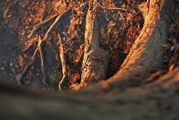 12月。根元に積もったヒノキの落ち葉。