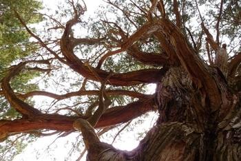 樹齢800年だそう。宮崎県椎葉村「大久保のヒノキ」。