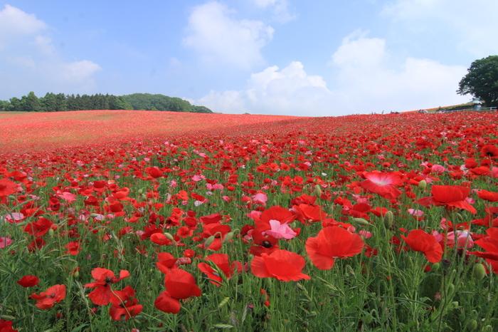 毎年5月下旬から6月上旬に見頃を迎える秩父高原牧場(彩の国ふれあい牧場)のポピー。今年は5月19日~6月日に「天空のポピー2018」が開催されます。面積5ヘクタールの広大な敷地に約1500万本の真っ赤なポピーが咲き誇る様は圧巻。標高500メートルの高原にあるため、青空とのコントラストが美しく、一見の価値ありです。