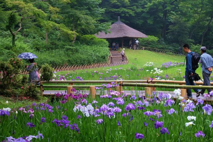 明治神宮は、東京の花菖蒲の名所としても有名で、6月には花を咲かせ見頃となるので、花菖蒲を愛でながら、親子で散歩も素敵な想い出に。