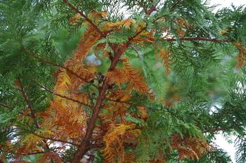11月ごろ、古い葉が赤くなり…