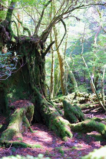 世界遺産・鹿児島県屋久島。屋久杉の新緑と落葉。