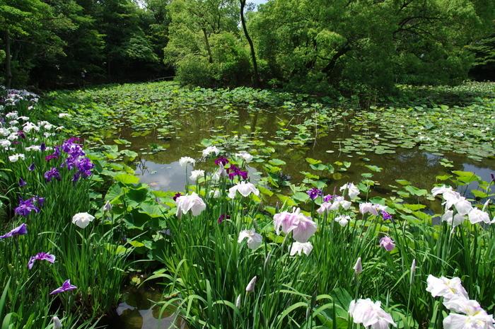 春・秋よりも穏やかな京都を楽しめる「青もみじ」の季節。さらに静けさに浸りたいなら、市内中心部から少し足をのばして、山科区の勧修寺を訪ねてみるのも素敵です。醍醐天皇が、昌泰3年(900)に建てたと伝えられるお寺で、氷室池に映る新緑や、菖蒲や蓮、藤といった初夏の花々も楽しむことができます。
