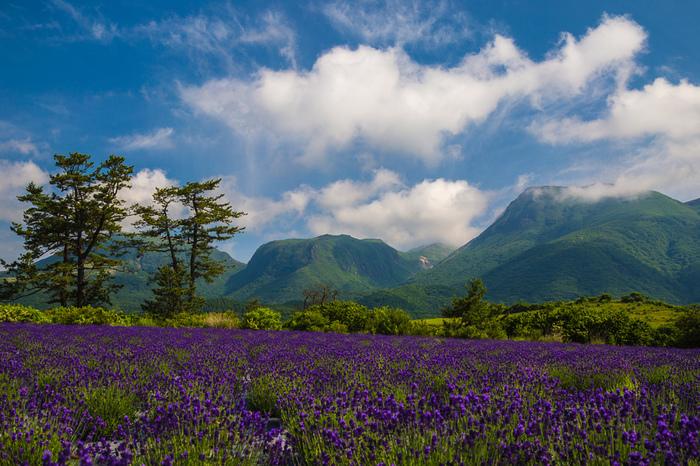 くじゅう花公園で植えられているラベンダーは約3万株にも及びます。心地よい高原の風を肌で感じながら、ラベンダーの香りに包まれながら、九重山を眺める気持ちよさは格別です。
