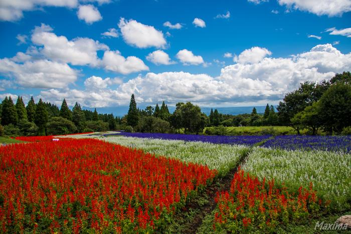 日本百名山の一つに数えられる九重山、阿蘇五岳に囲まれたくじゅう花公園は、約20ヘクタールの敷地面積を誇る植物園で、九州地方を代表するラベンダーの名所です。