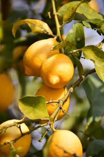 日本では、一年を通して、さまざまな地域からレモンを輸入しています。価格もそれほど高価ではなく、思い立ったらすぐに購入することができるというのは、素材としてとても優秀なことですね。