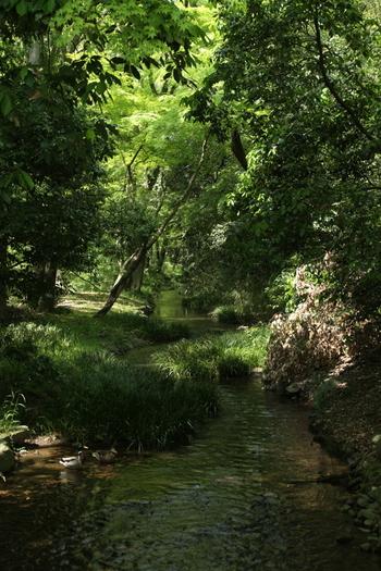 """【""""糺の森""""。を流れる泉川。】  原野の姿をとどめた「糺の森」には小川も流れ、近隣や遠来の人々の憩いの場、癒やしの森として利用されています。「下鴨神社」の本殿へは、「糺の森」の中に伸びる""""表参道""""を進みます。"""