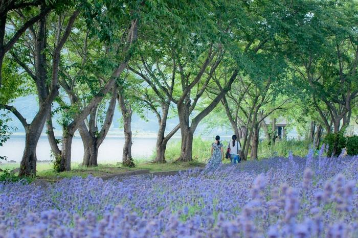 日本一の標高を誇る富士山麓の河口湖では、毎年初夏になるとハーブフェスティバルが開催され、ラベンダーが見ごろを迎えます。