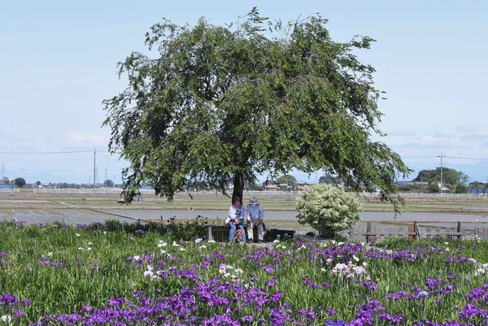 花しょうぶの名所として知られている埼玉県久喜市菖蒲地区は、花しょうぶだけでなく、ラベンダーの名所としても知られています。