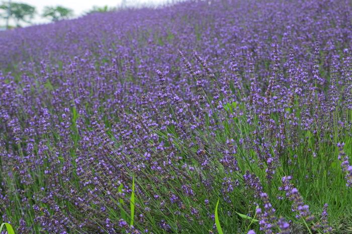 「あやめ・ラベンダーのブルーフェスティバル」が開催される頃になると、約3900株のラベンダーが一面に咲き誇り、大地に紫色の絨毯を敷き詰めたかのような景色が現れます。