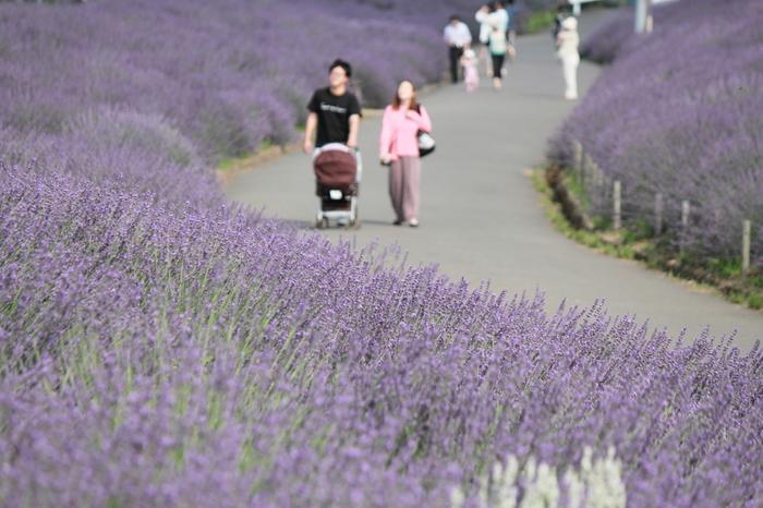 心地よいラベンダーの香りに包まれながら、紫色に染まった久喜市菖蒲地区をのんびりと散歩してみるのもおすすめです。
