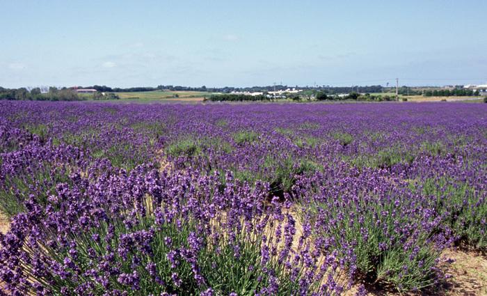 福井県坂井市に位置するラベンダーファームでは、約6000株のラベンダーが植えられており、初夏になると見ごろを迎えます。