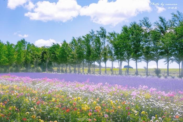 夏色をした爽やかな空色、深緑の樹々、薄紫色のラベンダー、色とりどりの花を咲かせた花畑が見事に融和し、ひるがの高原牧場の里では、どこを切り取っても絵になります。