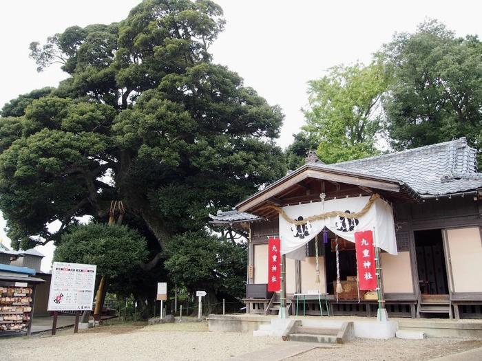 埼玉県安行に鎮座する「九重神社」は、享保年間に創設されたといわれる歴史ある神社で、主祭神は素盞鳴尊(スサノオノミコト)です。社殿の隣には、御神木である樹齢500年以上のスタジイが2本そびえたっていて、御朱印にもこの御神木の押し印が押されるのが特徴。一時期、御朱印の授与を休止していましたが、2018年4月から待望の再開!駐車場は4台のみで御祈祷を予約している方だけなので、公共交通機関で行くようにしましょう。少し分かりにくい場所にありますが、それでも御朱印を求めて多くの人が訪れる神社です。