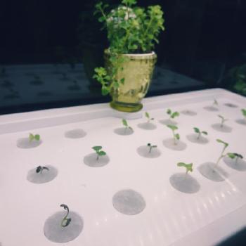 大きく成長するものは、根が絡まないように瓶やペットボトルなどで分けたり間隔を離したりしましょう。根に空気が届くようにプラスチックコップやザル状のもので浸からない工夫をするといいですね。使い終わった野菜の根を再生させるリボベジの場合も瓶やペットボトルが便利です。  液肥は即効性が高いため必要以上にあげてしまうと、逆に植物をよわらせてしまいますので、その植物の状態にあった量の液肥を使うように気を付けてくださいね。