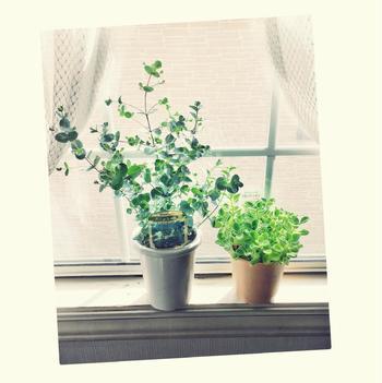 シルバーダラーと並び日本でとても有名なユーカリのひとつです。基本的にユーカリは乾燥している場所を好むため日本で育てるには、水分を余計に残さないように土の配合や水やりに注意が必要なんですが、グニーは湿度に強いので日本でも他の観葉植物と同じような方法で、比較的簡単に育てられると言われています。