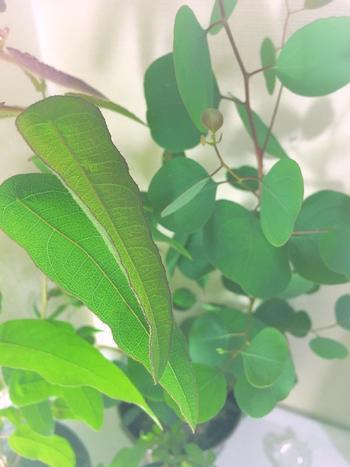レモンユーカリはその名の通り、葉っぱからとても強く爽やかなレモンの香りを放ってくれます。成長も早いので毎日眺めるのが楽しみになる品種でもあります。ただし、寒さには弱いため冬場の管理には注意してくださいね。