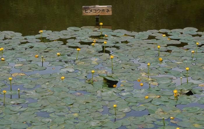 皇居というと「お堀」をイメージされる方も多いのでは?皇居東御苑の庭園内にも、いくつかの池があって水辺の風景を楽しめます。スイレン科の植物も涼しげでとてもキレイ。