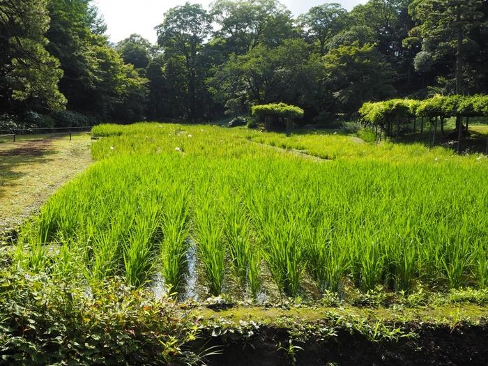 庭園の中に稲田があるのは珍しいですよね。これは小石川後楽園の作庭にも関わった当時の当主水戸光圀が、農民の苦労を子どもたちに教えようと作った田んぼ。現在は、毎年区内の小学生が田植えと稲刈りをしています。当時のお屋敷が、いかに広かったかが伺えます。中国趣味豊かな庭園は一見の価値がありますよ。
