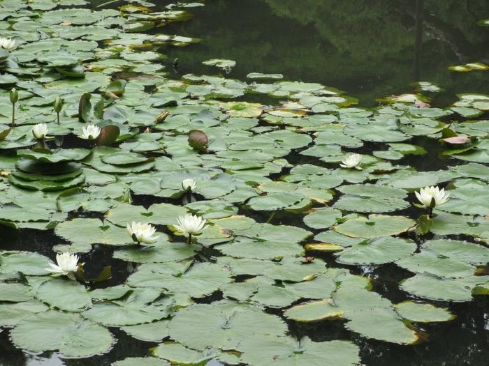 庭園のシンボルとされる「大泉水」。琵琶湖を表現した景色を造り出したもので、昔はこの池で舟遊びをしたといわれています。ハスやスイレンが咲いていて、どこかゆったりした気持ちになります。