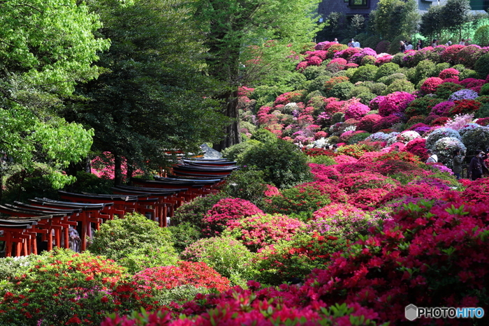 4月に見ごろを迎える根津神社のつつじ。境内には、約100種3000株が咲き誇ります。種類がとてもに多いので、長い期間お花を楽しむことができ、毎年多くの方が訪れています。境内の広さは約2000坪。歴史ある神社をゆっくり散策してみてはいかがでしょうか?