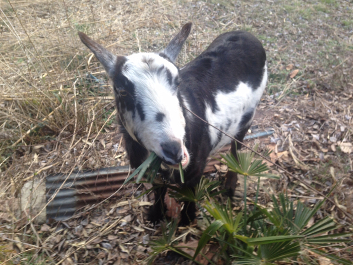 庭には、白×黒の山羊さんが!この子を目当てにくるお客さんもいるそう。