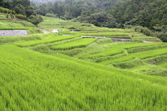 総面積7.7ヘクタールの敷地に約800枚の水田が敷かれている久留女木の棚田は、静岡県屈指の規模を誇る棚田です。その景観の素晴らしさ久留女木の棚田は、日本棚田百選のほか、静岡県景観賞にも選定されています。