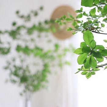 ドウダンツツジの葉は、卵をさかさまにしたような形で、長さは2~4㎝ほど。透け感のある可愛らしい葉が、車輪状に枝につきます。
