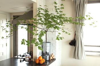小さい可憐な花を咲かせ、庭木としても人気のドウダンツツジ。透明感のある爽やかな葉は、秋になると真っ赤に色づく落葉広葉樹です。繊細な枝の美しさから、インテリアグリーンのように部屋に飾る方が増えています。そんなドウダンツツジのあるインテリアをご覧ください♪