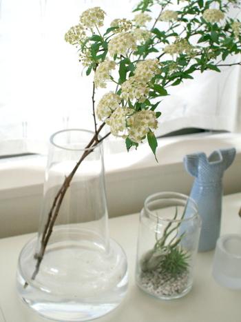 コデマリはユキヤナギの仲間で、春を代表する花木です。細く枝垂れた枝いっぱいに、手鞠(てまり)のような白い小花が咲く姿は愛らしく、ナチュラルな雰囲気が楽しめます。