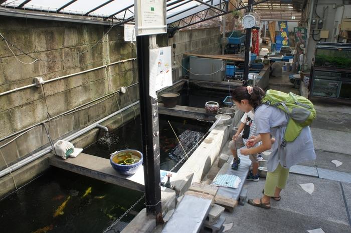 喫茶店の入り口までは、養殖スペースを抜けていきます。大小さまざまの金魚が優雅に泳ぐ姿は、大人も思わず見入ってしまいます。金魚釣りや金魚すくいなどのイベントも行われているんですよ。