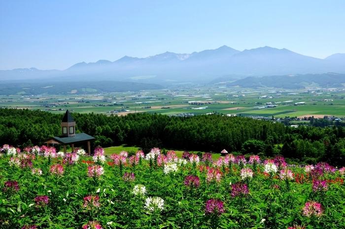 6ヘクタールもの広大な丘一面に、ラベンダーや季節の花々が咲き誇る「彩香の里」。『ようてい』『おかむらさき』など、全部で8種類のラベンダーを栽培しています。