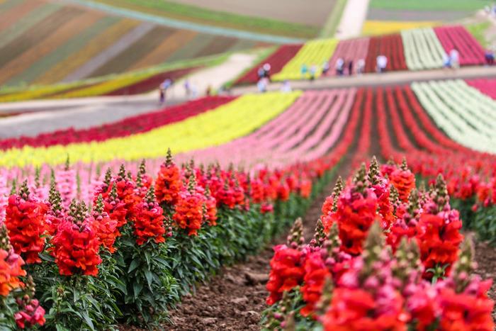 なだらかな丘に、何色もの花の帯が連なる風景を楽しめるのが、「四季彩の丘」。広い園内を楽にめぐることのできるトラクターバスの『ノロッコ号』、カートやバギーなども充実しています。