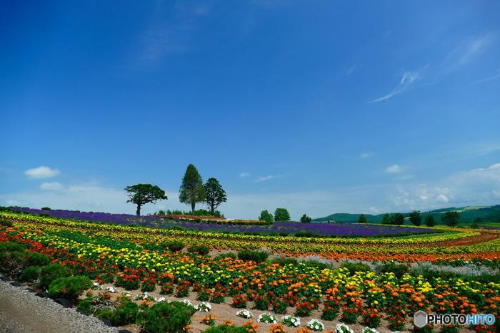ラベンダーやひまわりなど、様々な花を楽しめるガーデン。ガーデンの奥にある展望台からは、「ケンとメリーの木」としてTVCMで有名になったポプラの木を眺めることができます。