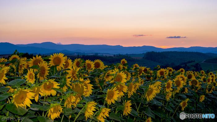 美瑛で美しい夕日が見られる場所として名高いのが、こちらの「新栄の丘展望公園」。十勝連峰の山並みと夕暮れに染まる空、そして短い夏に咲き誇るひまわり達。一日の終わりに、心静かに立ち寄ってみたい場所です。