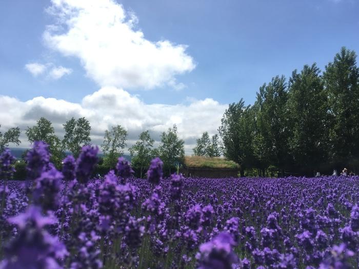 ラベンダーといえばここ!というくらい有名な「ファーム富田」。こちらはそのファーム富田から東へ4kmほど離れた場所にある「ラベンダーイースト」です。見渡す限りひろがる紫の絨毯は、日本最大級の広さを誇ります。