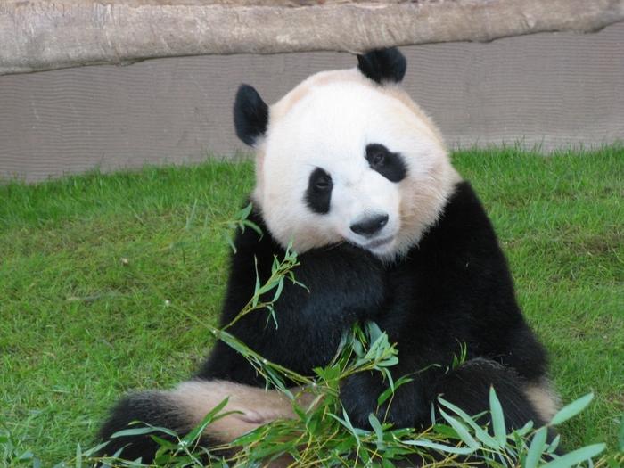 上野で人気のパンダちゃん。和歌山県の「アドベンチャーワールド」にも可愛いパンダたちがいるのをご存知でしょうか?キュートな姿仕草、それから海岸沿いの絶景に癒されに和歌山旅行を計画してみませんか?
