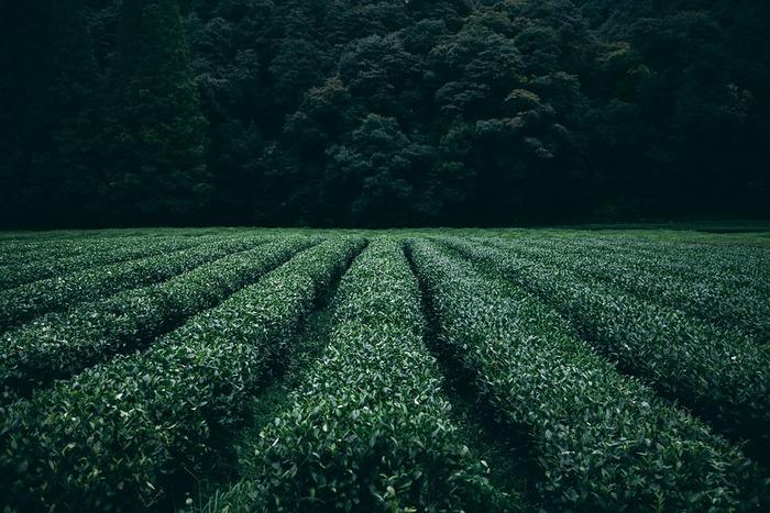 一口に日本茶と言っても種類は様々です。一般的によく飲まれている緑のお茶は「煎茶」と呼ばれる事が多いのですが、作り方や茶葉の部位によって分かれています。