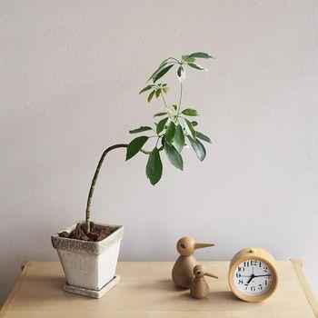 曲がった幹が特徴的なシルエットのシェフレラ・ホンコン。乾燥に強い観葉植物なので、 水やりをたまに忘れても大丈夫ですよ。お気に入りの鉢に植え替えて、インテリアに合わせて雰囲気を変えるのも愉しいですね。