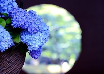 明月院といえばこの悟りの窓。とても神聖な気持ちになるこの場所にもアジサイが。明月院のアジサイはヒメアジサイというブルーの品種のものが多いので「明月院ブルー」と呼ばれ親しまれています。