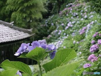 長谷寺では大体5月下旬頃からちらほらと咲き始め、6月中旬にかけてほぼ満開になりその様は圧巻です。今年は天候が暖かいため、例年より見頃は早くなりそうとのこと。
