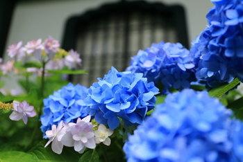 そこで今回は、鎌倉のアジサイの見所「長谷寺」「御霊神社」「明日院」とその近くにある雨音を感じながらゆっくりできる素敵なカフェ、そして彫金や陶芸など雨でも楽しめるスポットをご紹介したいと思います。