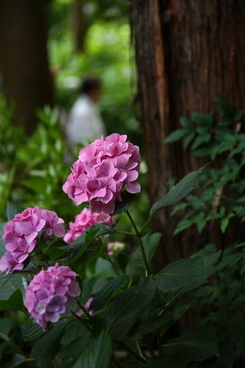 御霊神社には江ノ島・鎌倉の七福神が祀られています。御霊神社のアジサイの見頃は6月上旬頃。様々な色合いのアジサイが出迎えてくれます。