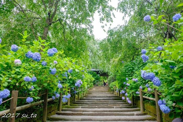 アジサイの名所中の名所、北鎌倉の「明月院」。約2500株ものアジサイが植えられており、ほぼブルーで統一されたアジサイの参道は「青の参道」と呼ばれています。雨がシトシトと音を立てて降るなか、この青の参道を歩くとノスタルジックな風情を感じる事ができます。梅雨だからこそ体感できる贅沢な時間を過ごす事ができます。