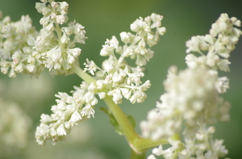 ルバーブの花。 花が咲くと葉柄が固くなるため、早めに摘み取られてしまいます。