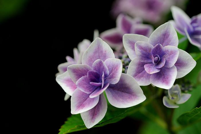 艶やかに咲く色とりどりの大輪。伊豆ならではの自然の中では、いっそう美しく輝いて見えます。西洋あじさいと日本原産あじさいでは花の魅力がまた違うので、それぞれの個性にもぜひ注目してみてください。  「あじさい祭り」開催中はテラスカフェがオープンし、体験イベントなども行われます。また、下田が誇る金目鯛のグルメを満喫できる「きんめ祭り」も同時開催されます。