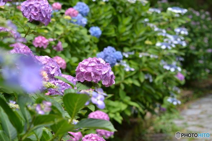 続いては、南伊豆。 下田市にある「下田公園」では、6月の1ヶ月間「あじさい祭り」が開催されます。広大な敷地に育てられたあじさいは100種以上。300万輪もの花が咲き乱れます。