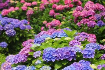 中伊豆でのおすすめは、多様な顔を持つテーマパーク「虹の郷」。6月になると、日本庭園エリアであじさいが見事に咲き乱れます。ガクアジサイやベニガクアジサイなど、一面を彩るあじさいの数は約10種3500株。